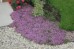 Red Creeping Thyme (Thymus praecox 'Coccineus') at Oakland Nurseries Inc