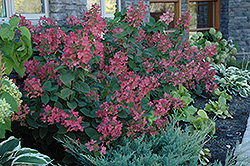 Pink Diamond Hydrangea (Hydrangea paniculata 'Pink Diamond') at Oakland Nurseries Inc
