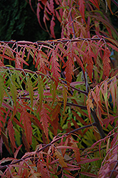 Tiger Eyes® Sumac (Rhus typhina 'Bailtiger') at Oakland Nurseries Inc