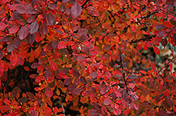 Rose Glow Japanese Barberry (Berberis thunbergii 'Rose Glow') at Oakland Nurseries Inc
