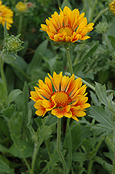Oranges And Lemons Blanket Flower (Gaillardia x grandiflora 'Oranges And Lemons') at Oakland Nurseries Inc
