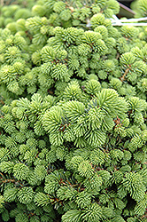 Little Gem Spruce (Picea abies 'Little Gem') at Oakland Nurseries Inc
