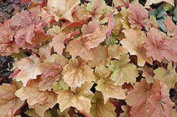 Dolce® Creme Brulee Coral Bells (Heuchera 'Tnheu041') at Oakland Nurseries Inc