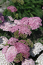 Apple Blossom Yarrow (Achillea millefolium 'Apple Blossom') at Oakland Nurseries Inc