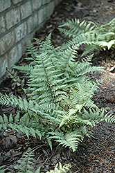 Ghost Fern (Athyrium 'Ghost') at Oakland Nurseries Inc
