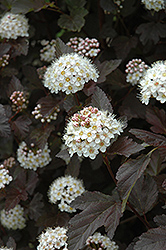 Diablo Ninebark (Physocarpus opulifolius 'Diablo') at Oakland Nurseries Inc