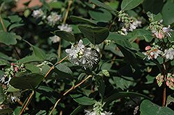 Snowberry (Symphoricarpos albus) at Oakland Nurseries Inc