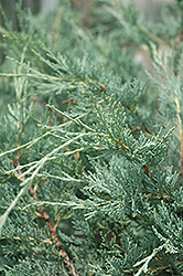 Moonglow Juniper (Juniperus scopulorum 'Moonglow') at Oakland Nurseries Inc