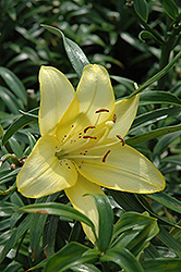Royal Justice Lily (Lilium 'Royal Justice') at Oakland Nurseries Inc