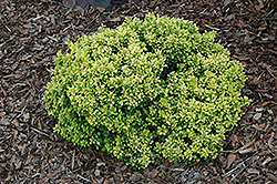 Golden Nugget Japanese Barberry (Berberis thunbergii 'Golden Nugget') at Oakland Nurseries Inc