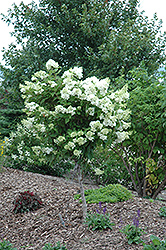 Pink Diamond Hydrangea (tree form) (Hydrangea paniculata 'Pink Diamond (tree form)') at Oakland Nurseries Inc