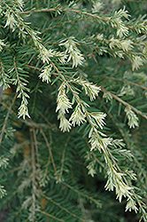 Summer Snow Hemlock (Tsuga canadensis 'Summer Snow') at Oakland Nurseries Inc