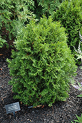 Jan Arborvitae (Thuja plicata 'Jan') at Oakland Nurseries Inc