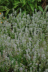 Miniature Thyme (Thymus praecox 'Minus') at Oakland Nurseries Inc