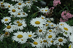 Ryan's White Shasta Daisy (Leucanthemum x superbum 'Ryan's White') at Oakland Nurseries Inc