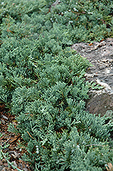 Blue Rug Juniper (Juniperus horizontalis 'Wiltonii') at Oakland Nurseries Inc