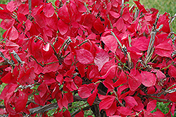 Compact Winged Burning Bush (Euonymus alatus 'Compactus') at Oakland Nurseries Inc