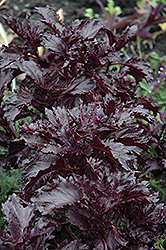 Purple Ruffles Basil (Ocimum basilicum 'Purple Ruffles') at Oakland Nurseries Inc