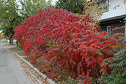 Staghorn Sumac (Rhus typhina) at Oakland Nurseries Inc