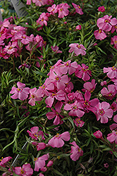 Millstream Daphne Moss Phlox (Phlox subulata 'Millstream Daphne') at Oakland Nurseries Inc