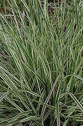 Variegated Reed Grass (Calamagrostis x acutiflora 'Overdam') at Oakland Nurseries Inc