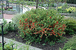 Japanese Flowering Quince (Chaenomeles japonica) at Oakland Nurseries Inc