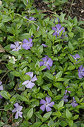 Common Periwinkle (Vinca minor) at Oakland Nurseries Inc