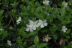 White Periwinkle (Vinca minor 'Alba') at Oakland Nurseries Inc