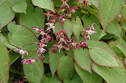 Bishop's Hat (Epimedium x rubrum) at Oakland Nurseries Inc