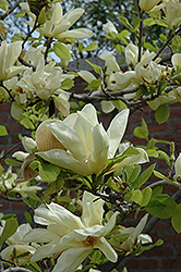 Elizabeth Magnolia (Magnolia 'Elizabeth') at Oakland Nurseries Inc