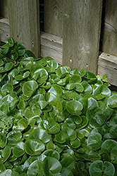 European Wild Ginger (Asarum europaeum) at Oakland Nurseries Inc