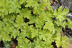 Key Lime Pie Coral Bells (Heuchera 'Key Lime Pie') at Oakland Nurseries Inc