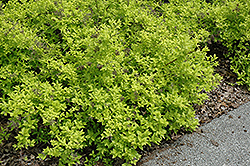 White Gold Spiraea (Spiraea japonica 'White Gold') at Oakland Nurseries Inc