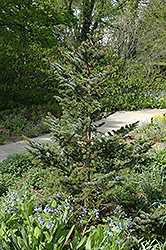 Howell's Dwarf Tigertail Spruce (Picea bicolor 'Howell's Dwarf Tigertail') at Oakland Nurseries Inc