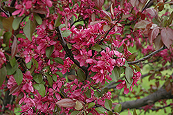 Profusion Flowering Crab (Malus 'Profusion') at Oakland Nurseries Inc