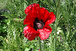 Beauty of Livermere Poppy (Papaver orientale 'Beauty of Livermere') at Oakland Nurseries Inc