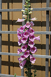 Common Foxglove (Digitalis purpurea) at Oakland Nurseries Inc