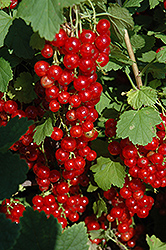Red Lake Red Currant (Ribes sativum 'Red Lake') at Oakland Nurseries Inc
