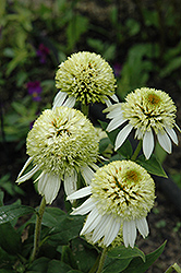 Coconut Lime Coneflower (Echinacea 'Coconut Lime') at Oakland Nurseries Inc