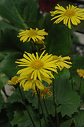 Little Leo Leopard's Bane (Doronicum 'Little Leo') at Oakland Nurseries Inc