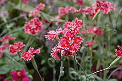 Strawberry Sorbet Pinks (Dianthus 'Strawberry Sorbet') at Oakland Nurseries Inc
