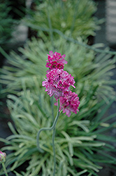 Nifty Thrifty Sea Thrift (Armeria maritima 'Nifty Thrifty') at Oakland Nurseries Inc