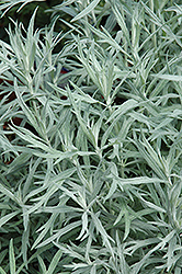 Siver Queen Artemesia (Artemisia ludoviciana 'Silver Queen') at Oakland Nurseries Inc
