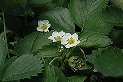 Everbearing Strawberry (Fragaria 'Everbearing') at Oakland Nurseries Inc