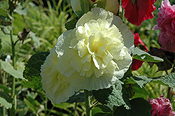 Chater's Double Yellow Hollyhock (Alcea rosea 'Chater's Double Yellow') at Oakland Nurseries Inc