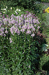 Obedient Plant (Physostegia virginiana) at Oakland Nurseries Inc