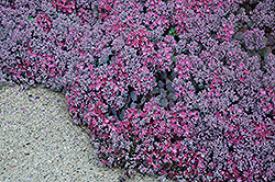Lidakense Stonecrop (Sedum cauticola 'Lidakense') at Oakland Nurseries Inc