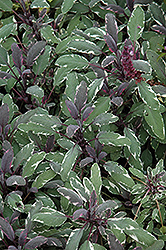 Tricolor Sage (Salvia officinalis 'Tricolor') at Oakland Nurseries Inc