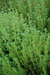 Common Thyme (Thymus vulgaris) at Oakland Nurseries Inc