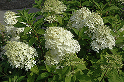 Little Lamb Hydrangea (Hydrangea paniculata 'Little Lamb') at Oakland Nurseries Inc